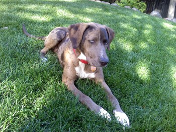 Hunter -  Catahoula